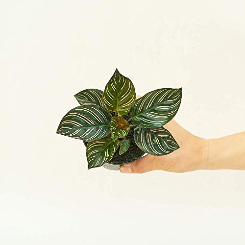 Calathea pinstripe植物 -  Calathea Ornata |生活,易于生长,低维护室内(4英寸)