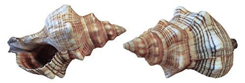 Kaltner Präsente Geschenkidee - Muschel Fasciolaria Trapezium Trapez Bandschnecke Meeresschnecke 13 bis 14 cm groß Set 2 Stück