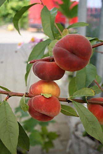 Pfirsichbaum Tellerpfirsich LH 120 - 150 cm, Pfirsiche gelb-rot, Busch, mittelstark wachsend, im Topf, Obstbaum winterhart