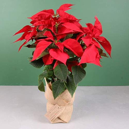 Planta de Navidad - Flor de pascua - Poinsettia - Altura 55
