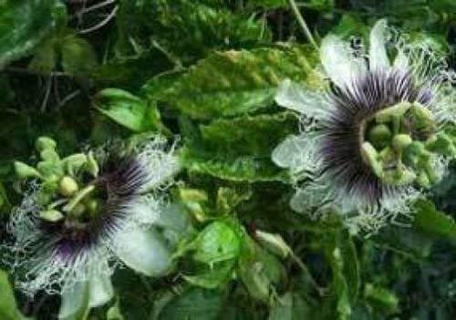 Passiflora Violet Possum 10 graines