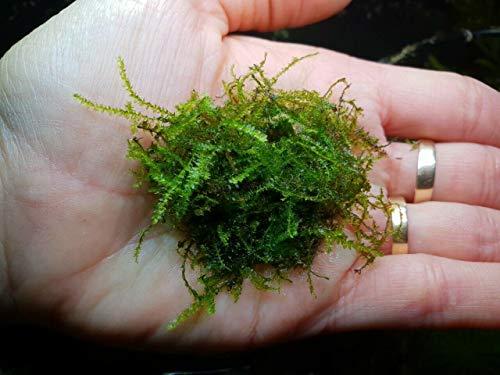 Desconocido Planta de Acuario, gambario, paludario.Musgo Weeping Moss (Musgo llorón)