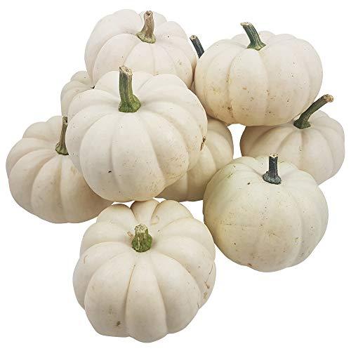 Descena 10 weiße XXL Baby Boo (Mind. 400 g) Kürbisse - Papa Boo - Dekokürbisse für Halloweendeko und Herbstdeko - Speisekürbis