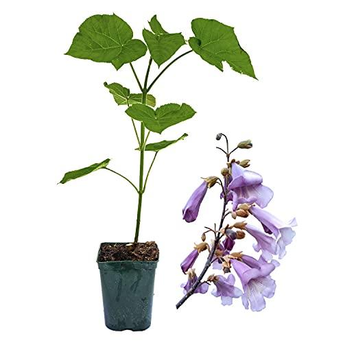 5 x Paulownia Blauglockenbaum SHANDONG, sehr schnellwüchsig; auch Kaiserbaum, Empress tree, Kiribaum für Wertholz/Energieholz, keine Samen! (2-3-Liter-Topf)