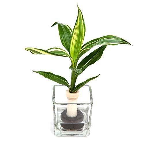 【ミニチュア観葉植物】「ドラセナ・サンデリアーナ・ビクトリー」と「ガラス製 キューブベース」 1個セット スタンドタイプ【2個買いでお得】【土な
