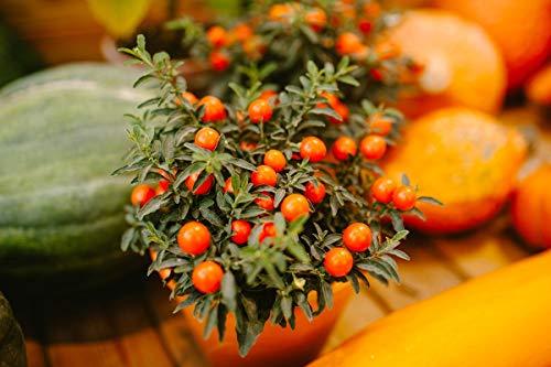 Shop Meeko Casa Giardino - Pomodoro'Pollicino Tom', multicolore varietà mix - per la coltivazione indoor e balcone - semi