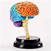 教育モデル脳解剖学モデル人間の臓器解剖学モデル脳モデル人間の脳解剖学モデル学校用