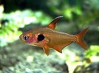 (熱帯魚・カラシン) レッドファントムテトラ 1.5cm± (10匹)