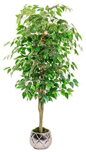 Maia Shop 1225 Ficus...
