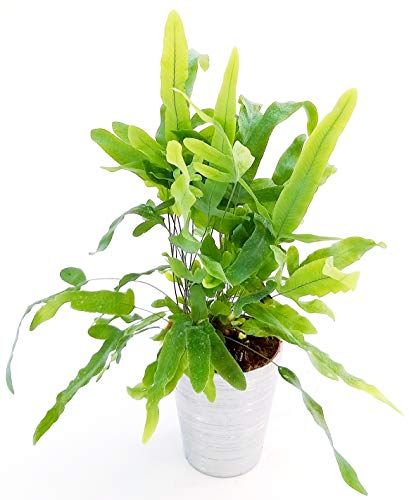 Felce PHLEBODIUM AUREUM BLUE STAR in...