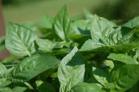 Graines de Basil Fine Verde - Ocimum basilicum - 325 graines