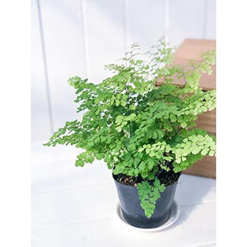 観葉植物 シダ アジアンタム フリッツルーシー 3.5号ポット Adiantum raddianum 'Fritz Luthi'