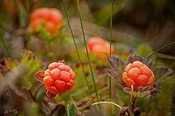 Moltebeere Rubus chamaemorus