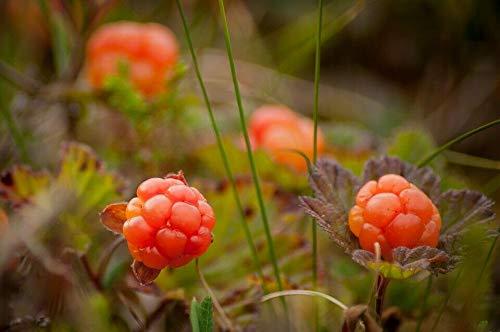 Moltebeere Rubus chamaemorus Pflanze 5-10cm Bernstein-Beere Torfbeere Rarität
