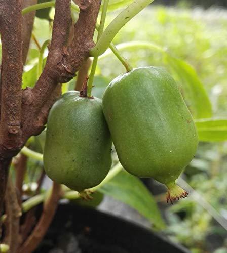 Kiwipflanze selbstfruchtend Isaii Mini Kiwi winterhart glattschalig sofort mit Schale essbar