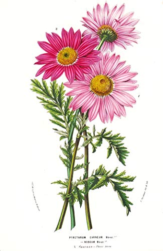 Pyrethrum Carneum Roseum - Caucasus flower flowers Blume Blumen botanical Botanik Botanical Botany