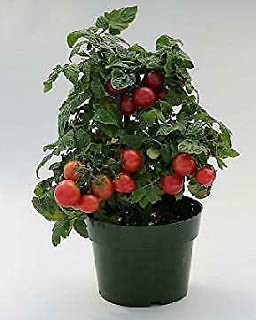 Details About Tomato Sweet N Neat Cherry Red 100 Seeds Need More? Ask