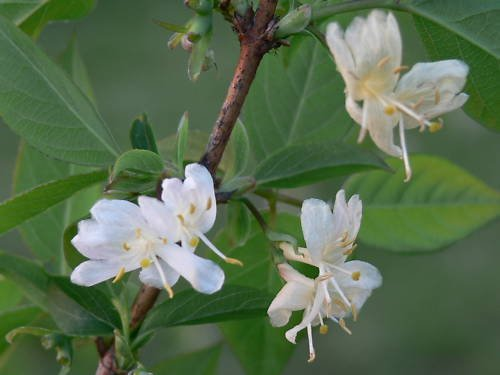 Winter Honeysuckle, Lonicera fragrantissima, Shrub Seeds, (Fast Fragrant Hardy) (50)