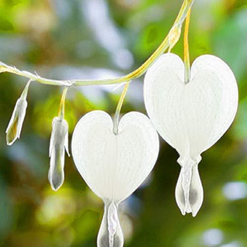 Fuchsia Hybrida Seeds for Yard Gardening Plant,100Pcs Fuchsia Hybrida Seeds Ornamental Flower Home Garden Office Bonsai Decor - White Fuchsia Hybrida Seeds by Mosichi