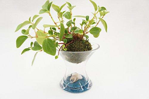 【貝殻が可愛いアクセント!土を使っていないから衛生的でお部屋のインテリアにぴったり♪お世話は基本水やりだけ!】 ハイドロカルチャー 観葉植物 スパイラスガラス 苔玉 ゼオライト青 貝殻入り