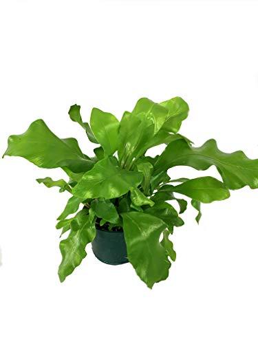 Bird's Nest Fern - Live Plant in a 4 Inch Pot - Grower's Choice -...