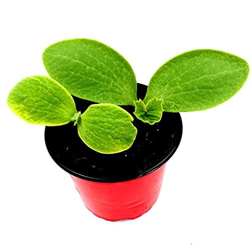 Hokkaido Kürbis für den Balkon CUCURBITA MAXIMA Gemüse Pflanzen 4 stk.