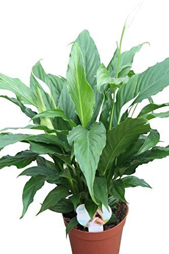 Plante d'intérieur - Plante pour la maison ou le bureau - Spathyphyllum, hauteur 50 cm - FLEUR DE LUNE
