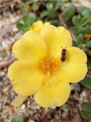 Graine coloré Portulaca, rose moussue Graine pourpier Double Flower Heat Tolerant, facile Semer des graines de fleurs d'extérieur 100 pièces/lot 4