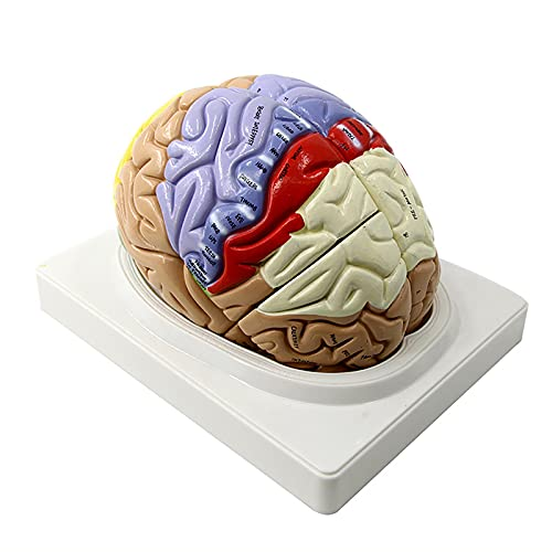TKer Menschliches Gehirnmodell, Medizinisches Modell für Learning Science Classroom Study Display