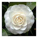 Camellia japonica white - Japanese camellia - 10 seeds