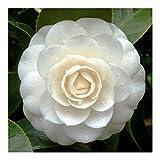 Camellia japonica white - Japanese camellia - 10 seeds