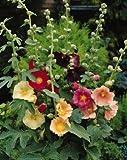 Alcea (Hollyhock) ficifolia Single Mix 250 Seeds