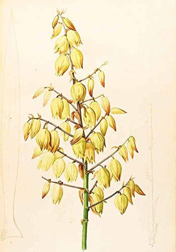 JH Lacrocon Pierre-Joseph Redoute - Yucca Gloriosa Leinwandbilder Reproduktionen Gerollte 35X50 cm - Blume Gemälde Gedruckt Wandkunst