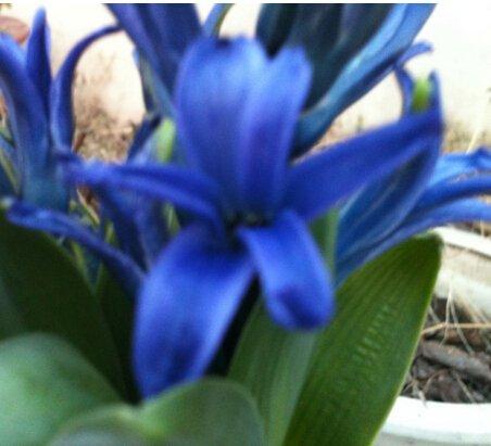 30 PC blaue Farbe Schöne chinesische Clivia Samen Pflanzen Bonsai-Garten Blumensamen semente dekorative Blumen selten