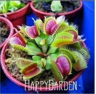 10 Unids/pack Semillas de Plantas Insectívoras en Macetas Dionaea Muscipula Clip Gigante Venus Atrapamoscas Semillas Planta Carnívora, Az26Hb