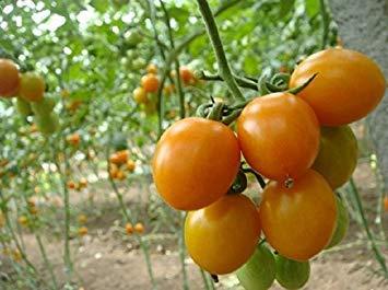 VISTARIC 3: Golden Delicious orange graines Mini Potted arbres fruitiers Graines Bonsai Intéressant planter 50 particules/lot 3