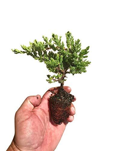 Juniper Procumbens Nana - 60 Live Plants - Drought Tolerant Evergreen Groundcover - Great for Bonsai