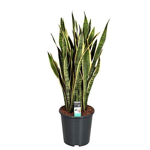 Sansevieria trifasciata LAURENTII XL   Langue de belle-mère   Plante verte d'intérieur   Hauteur 80-90cm   Pot Ø 21 cm