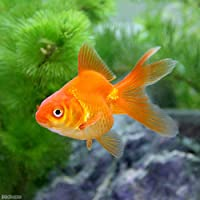 (国産金魚)琉金(5匹)