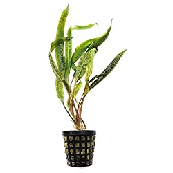 Cryptocoryne Balansae Growers Guide 2020 2