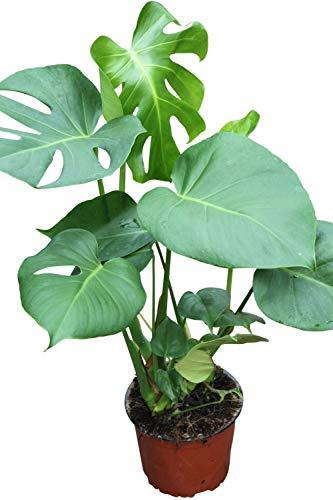 Plante d'intérieur - Plante pour la maison ou le bureau - Monstera deliciosa - Faux philodendron, hauteur 45cms