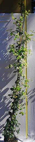 Gelsomino pianta