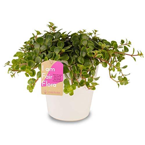 Zimmerpflanze – Fetthenne in weißem Übertopf als Set – Höhe: 17 cm