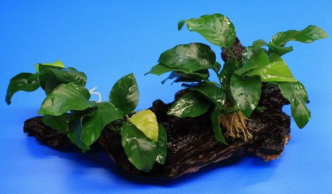 WFW wasserflora 2 kräftige Anubias Nana auf schöner Mopani-Wurzel