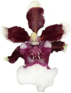 Orchid Insanity -Onc. Heaven Scent 'Redolence' - Sharry Baby Improved, Fragrant Chocolate-Scented Blooms Easy to Grow, windowsill-Size, Cool and Warm Tolerant. NOT in Bloom/Bud When Shipped