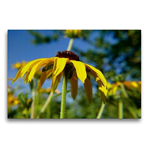 Premium Textil-Leinwand 75 x 50 cm Quer-Format Gelber Sonnenhut   Wandbild, HD-Bild auf Keilrahmen, Fertigbild auf hochwertigem Vlies, Leinwanddruck von Lucy M. Laube