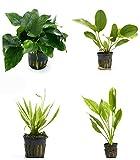 4 Potted Live Aquarium Plants Bundle - Anubia, Amazon Sword, Kleiner Bar, Narrow Leaf