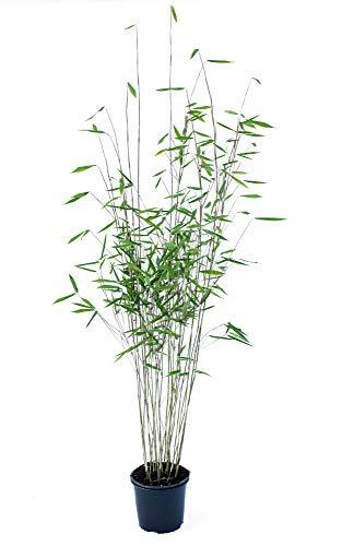 Schwarzer Bambus - Fargesia nitida Black...