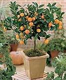 Citrus Mitis Calamondin-miniatura Orange Tree 35 Seeds