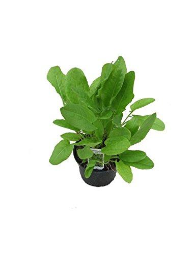 Sauerampfer, Marktfrische Pflanze aus Nachhaltigem Anbau